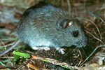 Hastings River Mouse
