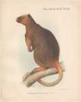 Wondiwoi Tree-Kangaroo