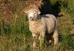 Danish Landrace Sheep