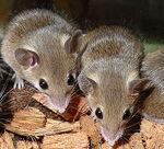 Matthey's Mice