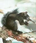 Mt Graham Red Squirrel