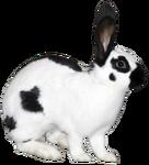 Checkered Rabbit