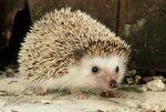 Four Toed Hedgehog