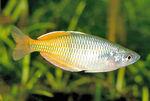 Boseman's Rainbowfish