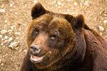 Marsican Brown Bear