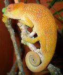 Usambara Flap-Nosed Chameleon