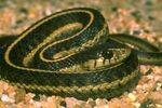 Western Aquatic Garter Snake