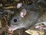 Camiguin Forest Mouse