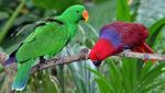 Vosmaer's Eclectus Parrot