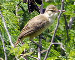 Saipan Reed Warbler