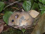 Nilgiri Long-Tailed Tree Mouse