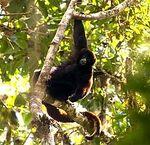 Peruvian Yellow-Tailed Woolly Monkey