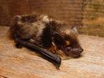 Japanese Short-Tailed Bat