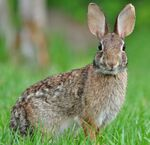 Robust Cottontail