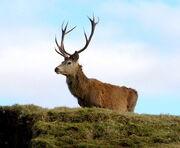 Corsican Red Deer