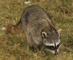 Cozumel Raccoon