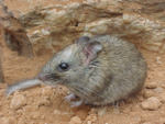 Central Rock Rat