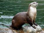 Japanese River Otter