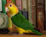 Black-Legged Parrot