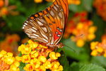 Uncompahgre Fritillary Butterfly