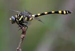 Common Clubtail Dragonfly