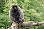 Gray Woolly Monkey