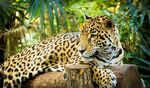 Goldman's Jaguar