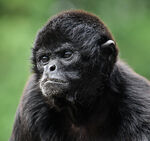 Black Faced Spider Monkey