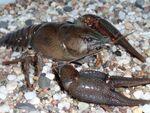 Noble Crayfish