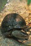 Coahuila Box Turtle