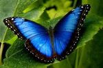 Morpho Blue Butterfly