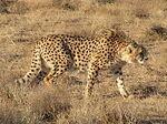 Asian Cheetah