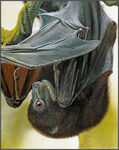 Bougainville Monkey-Faced Bat