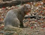 Small Indian Mongoose