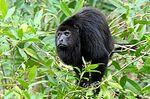 Yucatán Black Howler Monkey