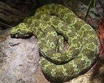 Mangshan Pit Viper