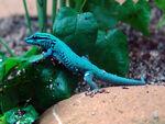 Turquoise Dwarf Gecko -Male-