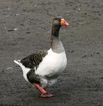 Pomeranian Goose