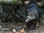Sulawesi Warty Pig