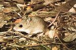 Little Native Mouse