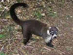 Cozumel Island Coati