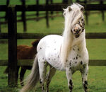 Falebella Horse