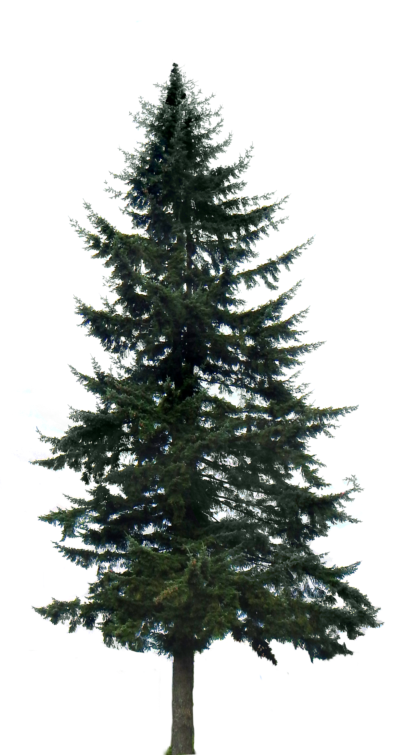 image pine tree big 20150403 2028379675 png over the garden wall