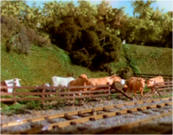 Cows38