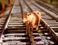 Cows40