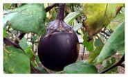 Purple fruit