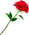 Rose TL
