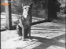 Tasmiane tiger