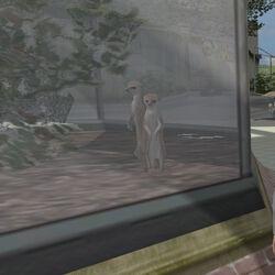 Animal Meerkat