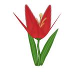 Chili Lily